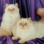 гималайские кошки с рыжим пойнтом