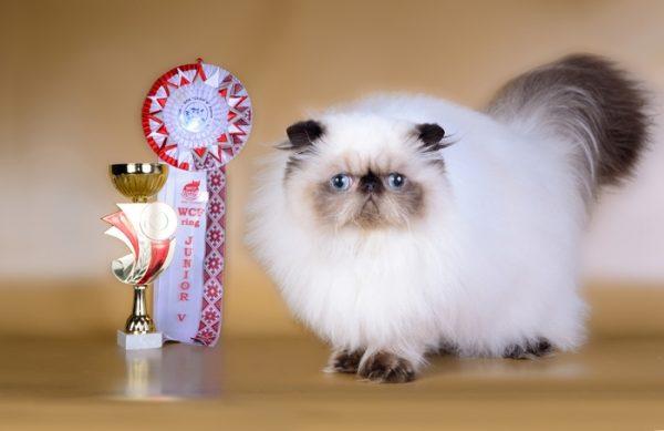 гималайский кот-подросток рядом с кубком