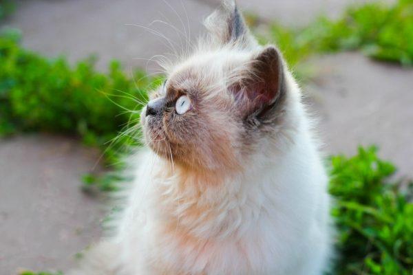 гималайский кот в профиль