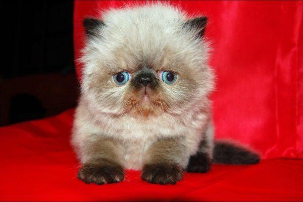 гималайский котёнок на красном фоне
