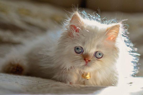 гималайский котёнок светло-кремового окраса