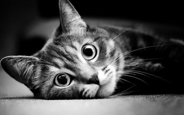 Гладкошерстная кошка с большими глазами