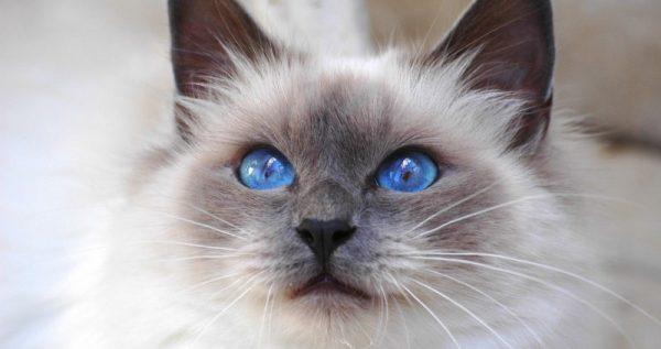 Глаза бирмы
