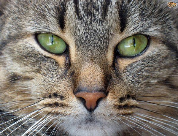Глаза черноногого кота
