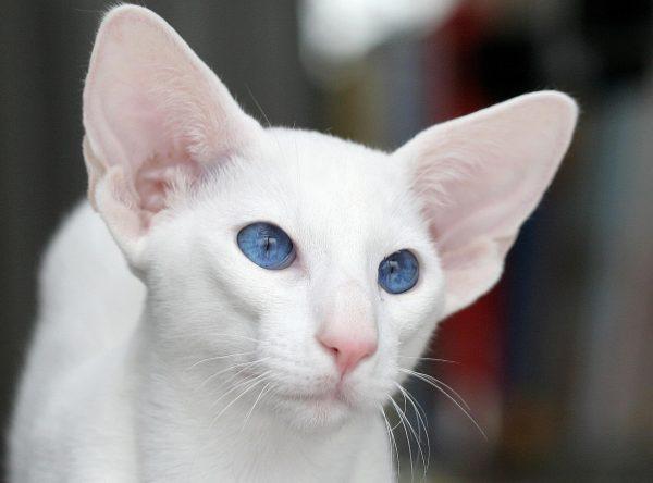 голова кошки породы форин вайт крупным планом