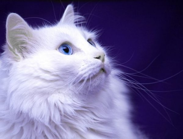 голова турецкой ангоры в профиль на фиолетовом фоне