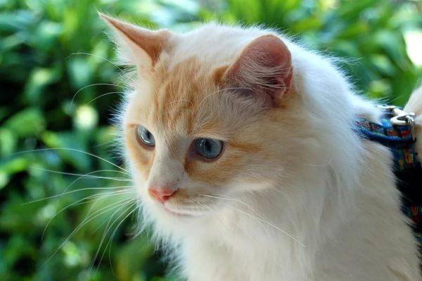 голубоглазая ванская кошка с жёлтыми пятнами на мордочке