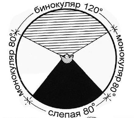 Поле зрения — схема