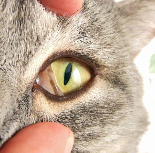 Глаз кошки с третьим веком