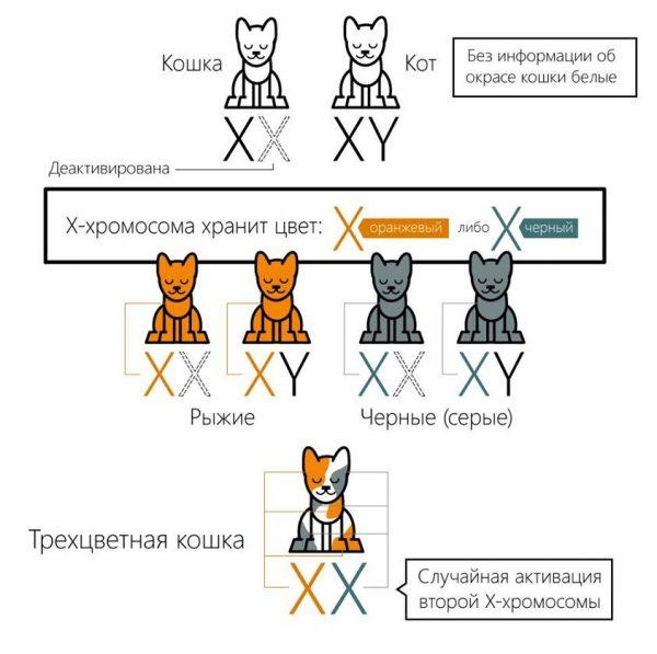 хромосомы кошки и кота