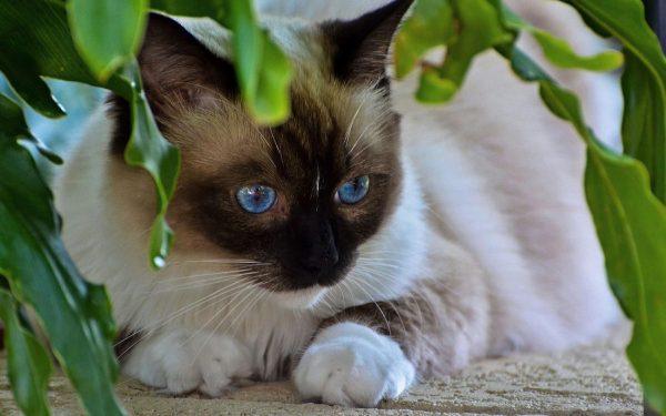 Тайская кошка прячется в зелёных листьях