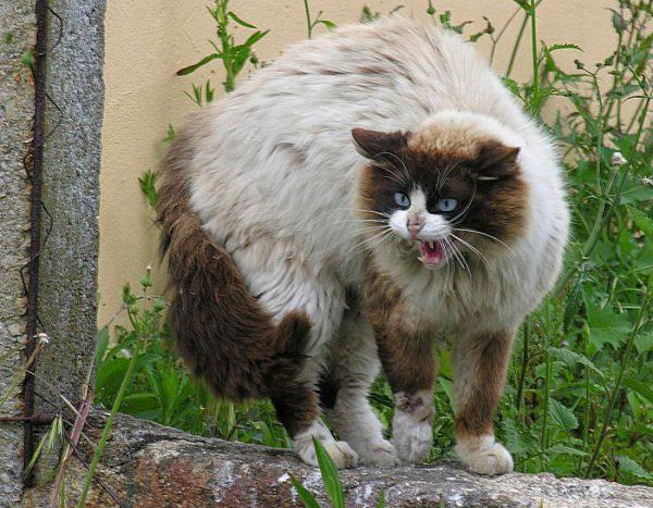 Агрессивный, шипящий кот перед броском