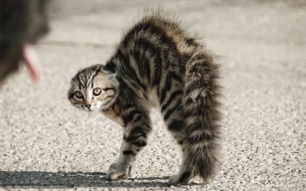 Испуганный кот выгибает спину и топорщит шерсть