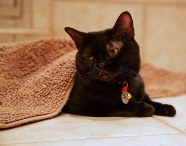 Задумчивый бомбейский кот под коричневым ковриком