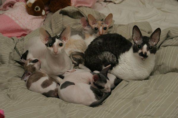 корниш рекс с пятнистыми котятами
