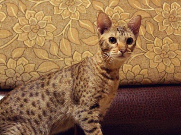 кошка-оцикет на коричнево-бордовом диване