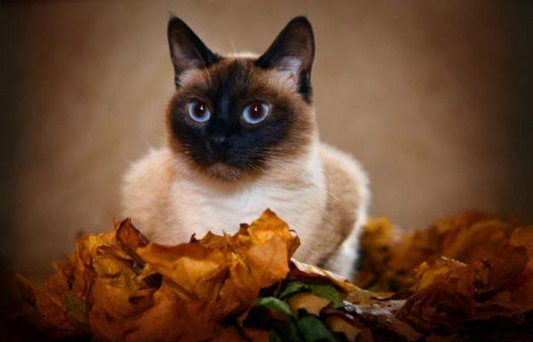 Тайская кошка в осенней листве