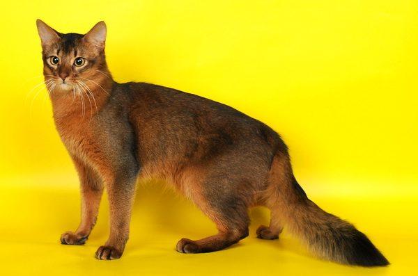 Желтоглазая сомалийская кошка