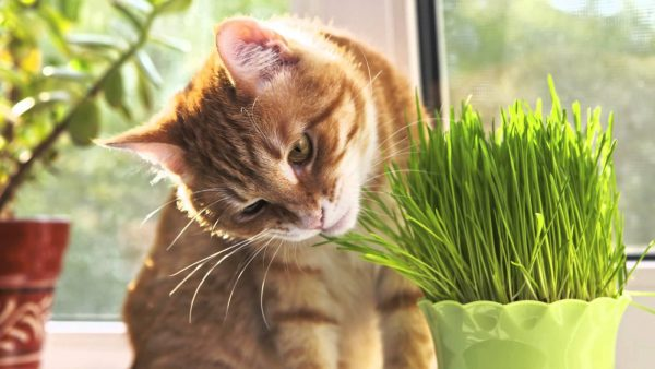 Кот и травка в горшке