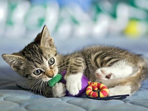 Котёнок жуёт игрушку