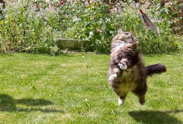 Кот прыгает за игрушечным пером