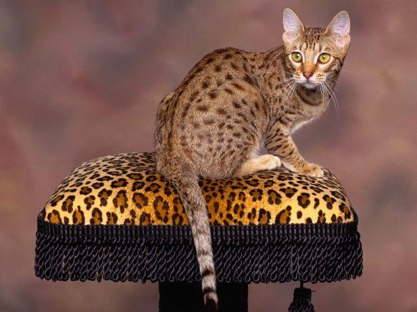 молодой оцикет сидит на леопардовом стуле