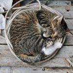 Кот свернулся калачиком