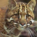 Калимантийская кошка