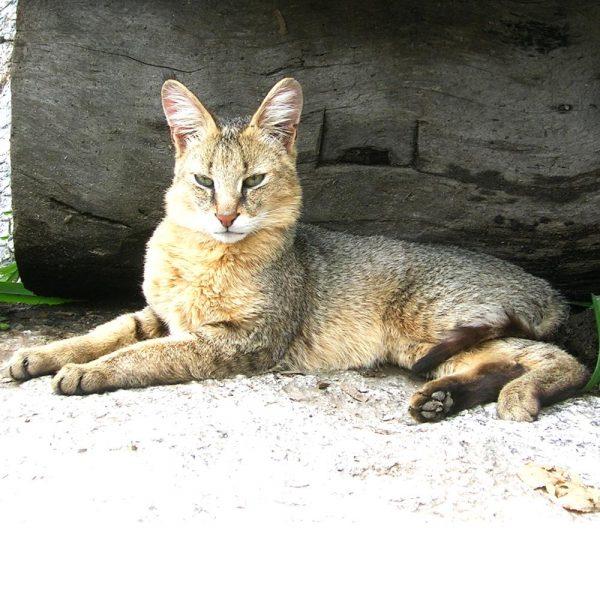 Камышовый кот лежит