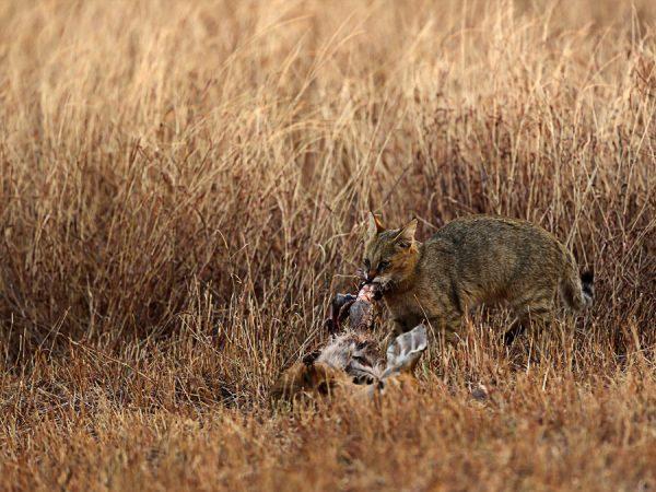Камышовый кот с добычей