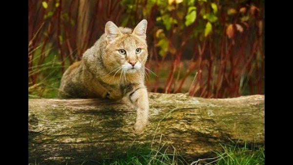Можно ли содержать болотную рысь камышового кота в домашних условиях