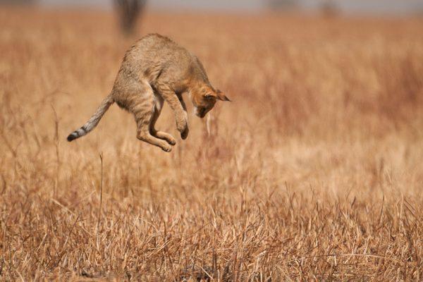 Камышовый кот в прыжке