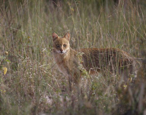 Камышовый кот в зарослях