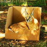 Каракал в коробке