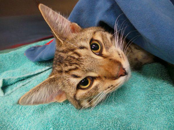Кот под наркозом на операционном столе
