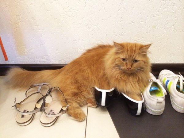 Кот лежит на обуви