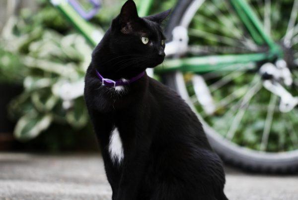 кот в ошейнике с феромонами