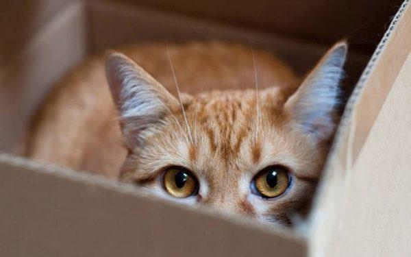 Кошка смотрит из коробки