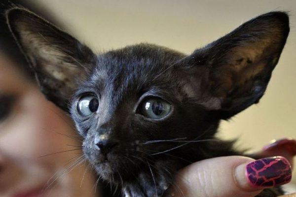 Кошачья мордочка с большими ушами