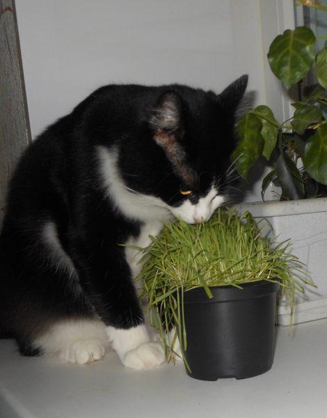 кот нюхает кошачью траву