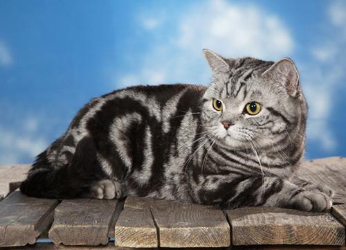 Кошечка окраса табби