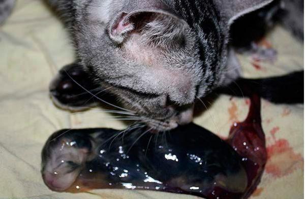 Кошечка освобождает котёнка от плодного пузыря