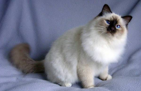 Кошка бирма сидит
