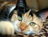 Кошка  хромосом