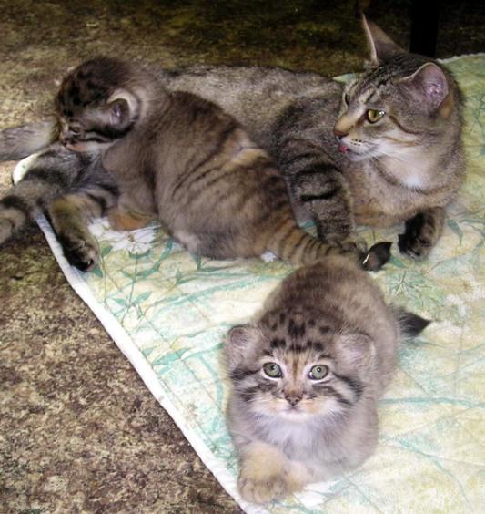 Кошка и манулята