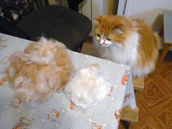 Кошка и вычесанная шерсть