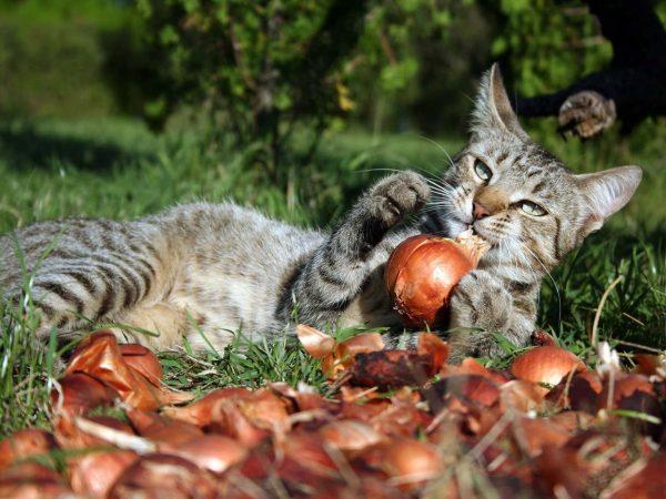 Кошка играет с луковицами
