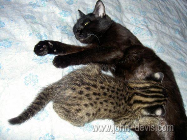 Кошка кормит дикого котёнка