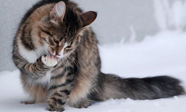 Кошка моет лапу
