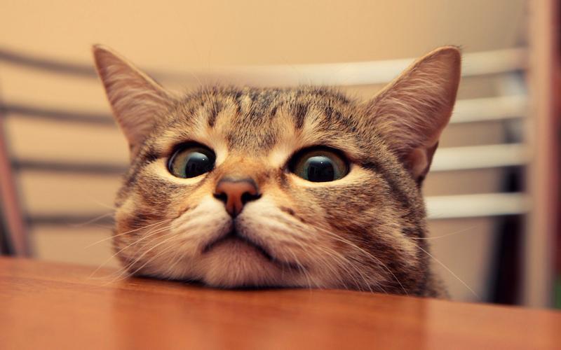 Причины, по которым коты лазят на стол, и как их от этого отучить